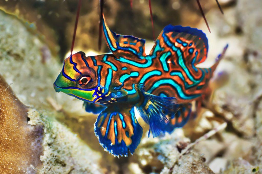 Planarias y pez mandarín (Pterosynchiropus splendidus)