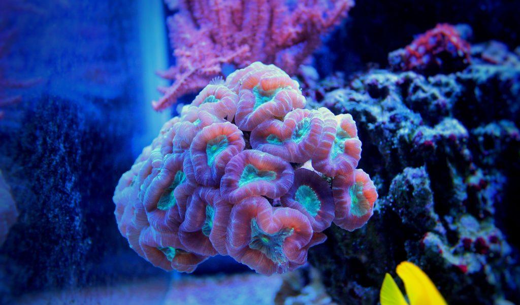Coral duro Caulastrea furcata, conocida como Coca-Cola.